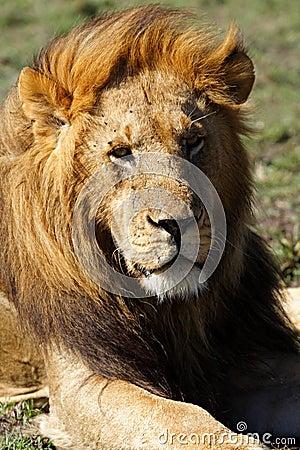 Dominant lion male with large mane, Kenya