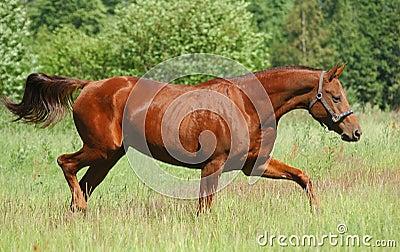 Don red sorrel mare