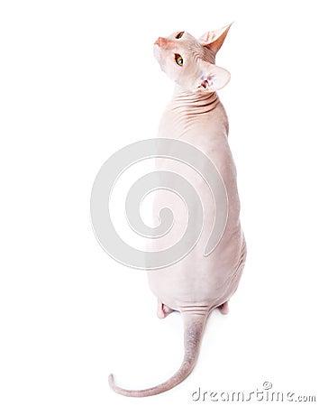 Don Sphinx (DONSPHINX) cat