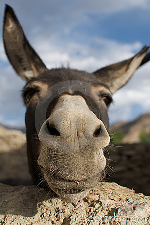 Free Donkey Royalty Free Stock Images - 12140899