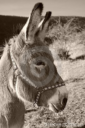 Donkey in black and white