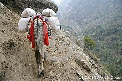 Donkey carrying heavy loads, annapurna