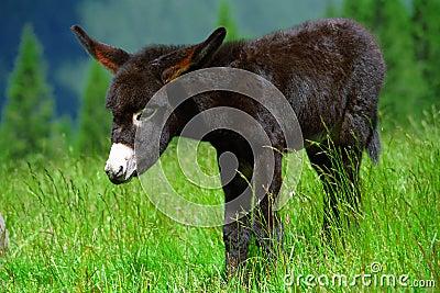 Donkey cub