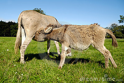 Donkey drinking milk