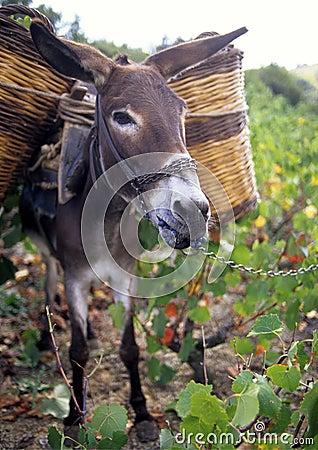 Donkey eating grapes