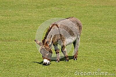 Donkey, Equus asinus asinus