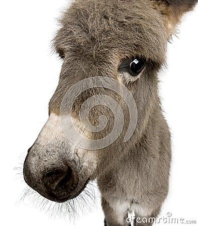 Donkey foal against white background