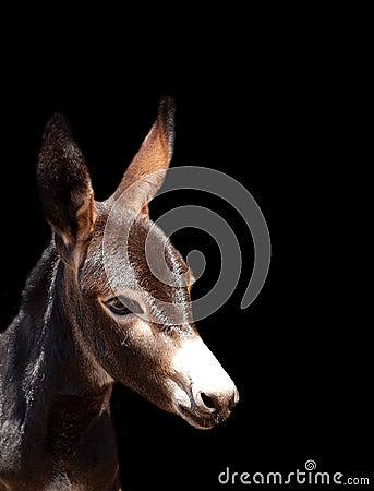 Free Donkey Foal Portrait On Black Royalty Free Stock Photography - 34207747