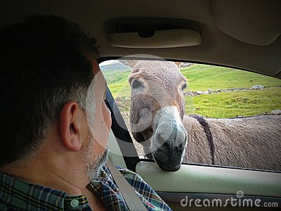 Donkey funny moment looking inside car