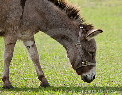 Donkey with Halter