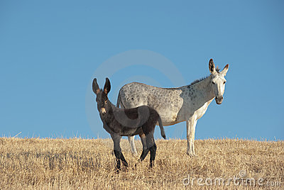 Donkey And His Foal