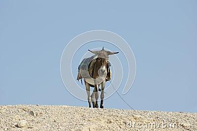 Donkey in Judean Desert, Israel
