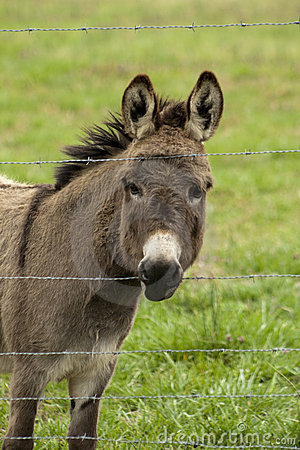 Donkey Looking Through Barbed Wire Fence