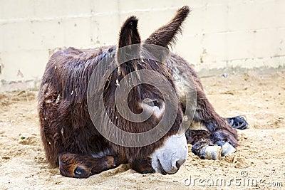 Donkey lying