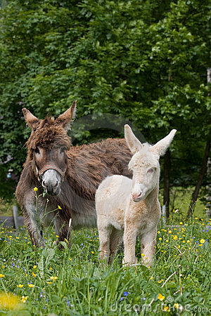 Free Donkey Mare With White Foal Royalty Free Stock Photo - 12337315