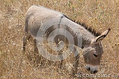 Donkey mule