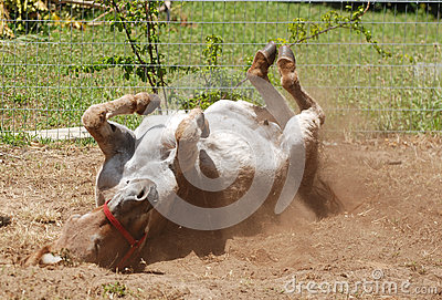 Donkey rolling in sand