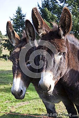 Free Donkey S Stock Photography - 21706792