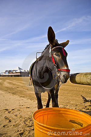 Donkey on Weston beach