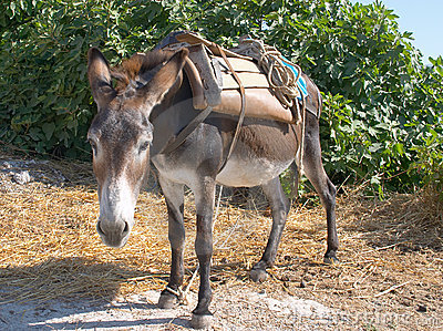Donkey at work
