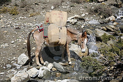 Donkeys carrying heavy loads, annapurna