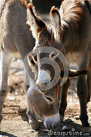 Free Donkeys Couple Portrait Royalty Free Stock Photo - 15243055
