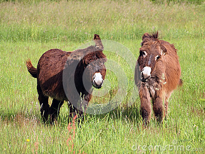 Donkeys eating grass