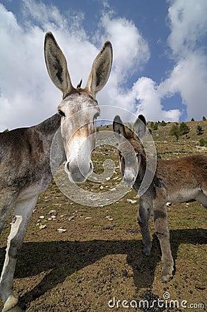 Donkeys , Equus africanus asinus