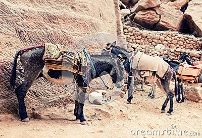 Donkeys at Petra
