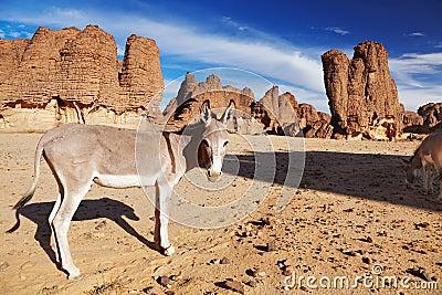 Donkeys in Sahara Desert