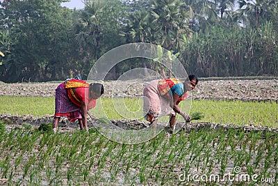 Donne che lavorano nella piantagione del riso fotografia for Progetti di piantagione