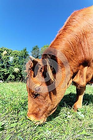 Doorblader koe