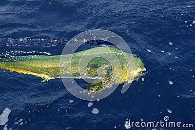 Dorado colorful fish sport saltwater