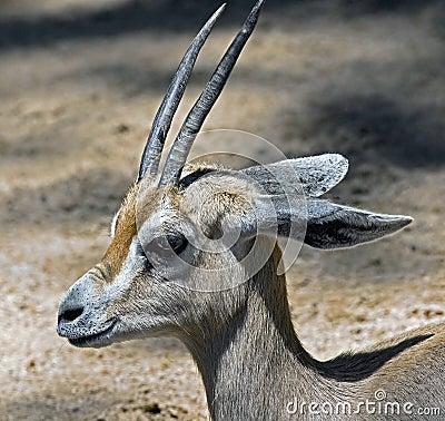 Dorcas gazelle 1