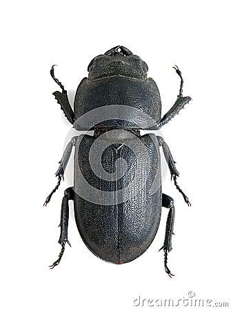 Dorcus parallelopipedus