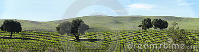Dormant grape vines in spring panorama