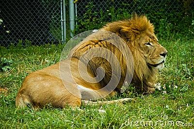 Dorosły lew