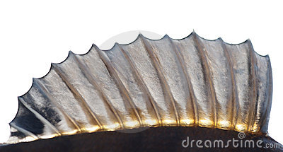 Dorsal fin of a perch