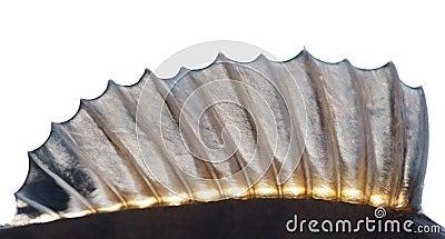 Dorsal fin of a perch