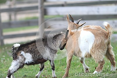 Dos cabras jovenes en la granja