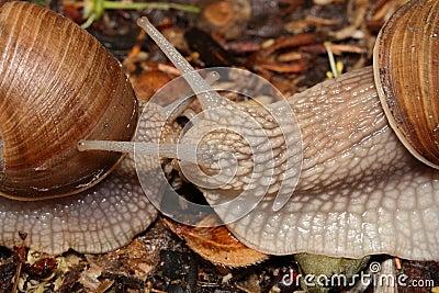 Dos caracoles (macro) se arrastran hacia uno a