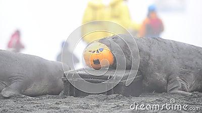 Dos elefantes sellos jugando con casco en Georgia del Sur almacen de video