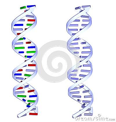 Dos estructuras de la DNA en el fondo blanco