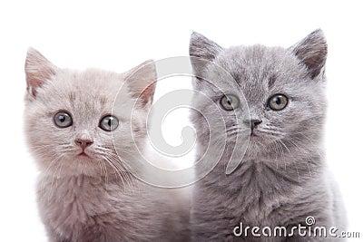 Dos gatitos británicos