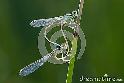 Dos libélulas