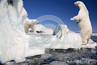 Dos osos polares blancos