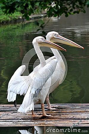 Dos pelícanos en el lago