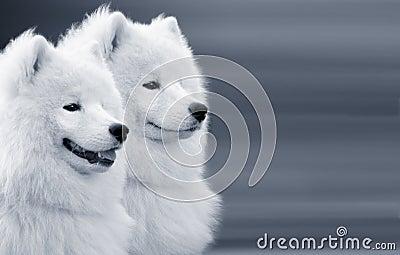 Dos perros del samoyedo