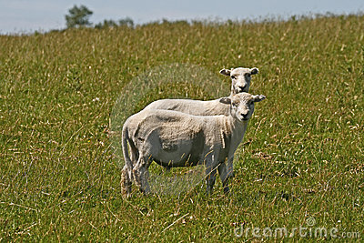 Dos sheeps en Bodmin amarran, Inglaterra