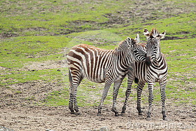 Dotaci zebra